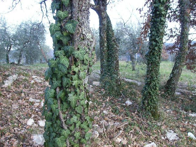 boschetto con ulivi