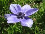 crocus azzurro