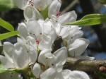 fiore di pera