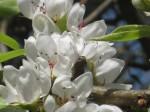 fiore di pero