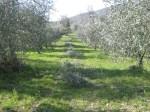 olivastri (3)