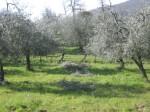 olivastri (4)