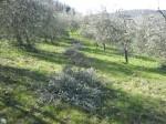 olivastri