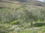 potare olivi