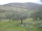 potare ulivi (2)