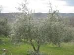 potare ulivi toscana