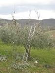potare ulivi