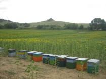 api-e-miele-di-girasole-8