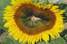 cuore-del-girasole