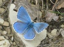 farfalla-celeste1