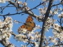 farfalla-fra-i-pruni