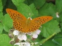farfalla-rugginosa-2