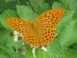 farfalla-rugginosa-3