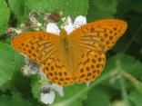 farfalla-rugginosa-4