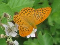 farfalla-rugginosa