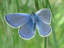 farfalla-turchese-6