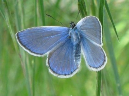 farfalla-turchese-8
