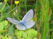 farfalla-turchese