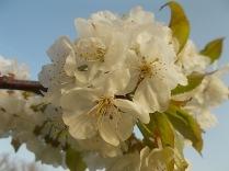 fiore-ciliegio-selvatico-9