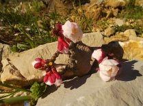 fiore di albicocco (2)
