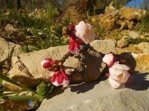 fiore di albicocco