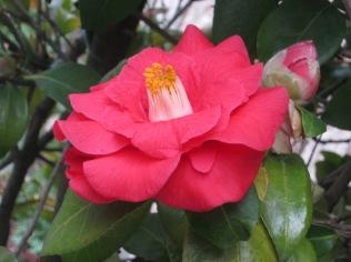 fiore-di-camelia