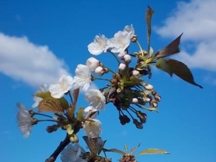 fiore-di-ciliegio-6