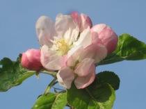 fiore-di-mela