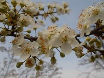 fiore-di-susino-2