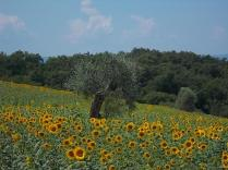 girasoli-della-berardenga-3