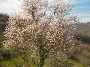 mandorlo in fiore (5)