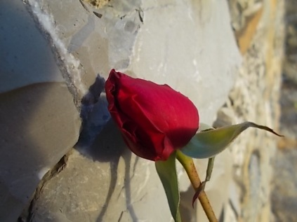 rosa-dinverno