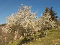 susino in fiore (2)