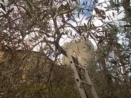 vertine fra gli ulivi (2)