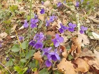viole (3)