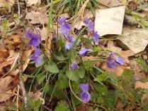 viole (4)