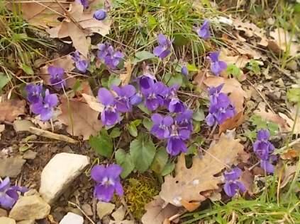 viole (6)