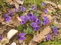 viole (7)