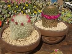 cactus giromagi castiglion del lago (2)