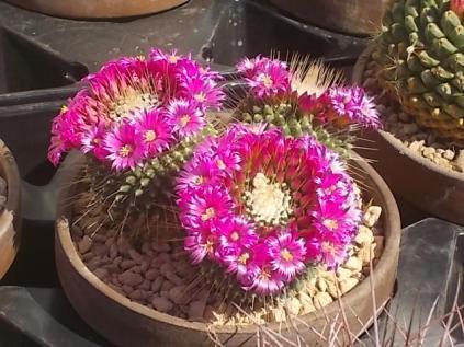 cactus giromagi castiglion del lago (26)