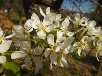 fiore di pero (2)