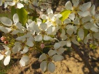 fiori di pero (2)