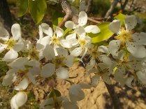 fiori di pero (3)