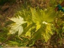 foglie-di-sangiovese-neonato-10