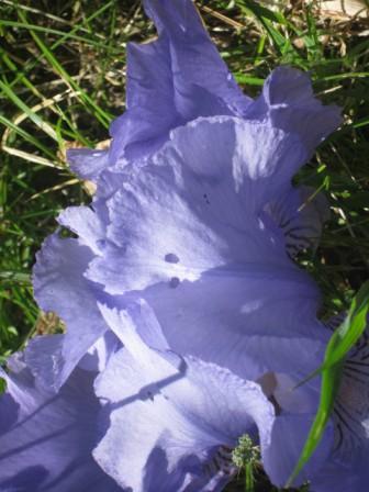 iris giaggiolo (10)