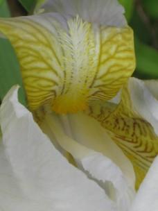 iris giaggiolo (14)