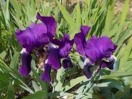 iris giaggiolo (5)