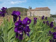 iris giaggiolo (6)