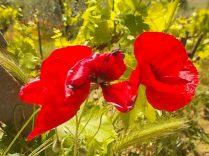 papaveri e sangiovese (7)