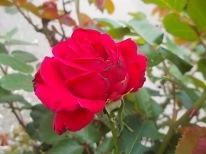 rosa scarlatta